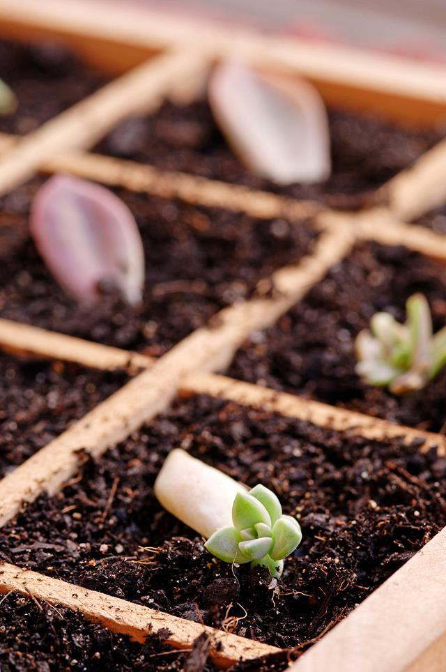 Propagating succulents is a good place for beginner gardeners to start.