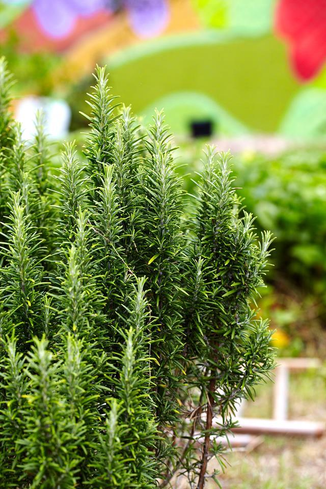 Perennial plants like rosemary thrive when grown from cuttings.