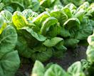 How to grow salad greens