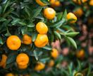 How to grow a mandarin from seed