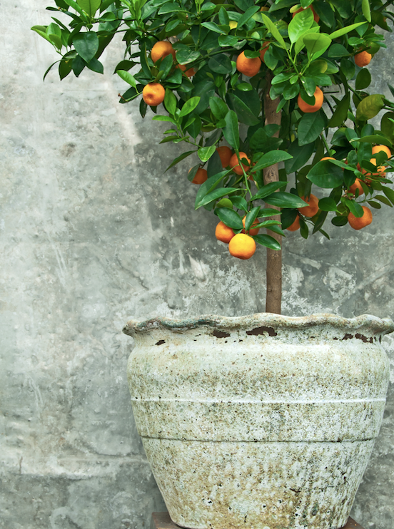 Mandarins will happy grow and produce fruit in a pot.