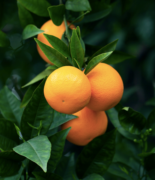 Whether you like to eat them fresh, juice them or cook with them, nothing compares to the taste of homegrown oranges.