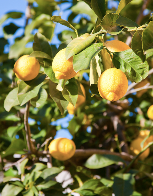 """[Pruning is a necessary part](https://www.bhg.com.au/when-and-how-to-trim-your-lemon-tree