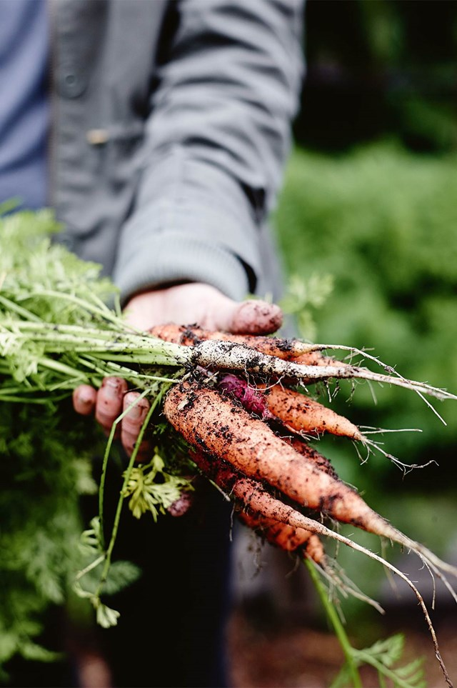 Ensure a continuous supply of carrots by planting new crops every six weeks.