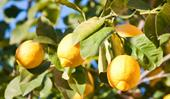 Citrus trees: how to plant, grow and care for