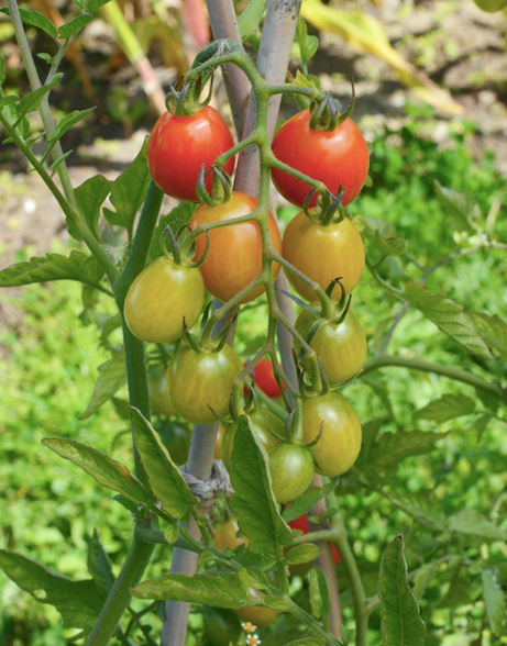Did you know tomatoes were originally thought to be poisonous, as they belong to the nightshade family which contains toxic plants.
