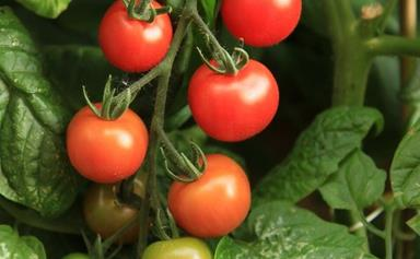 Cherry tomatoes: How to grow and care for
