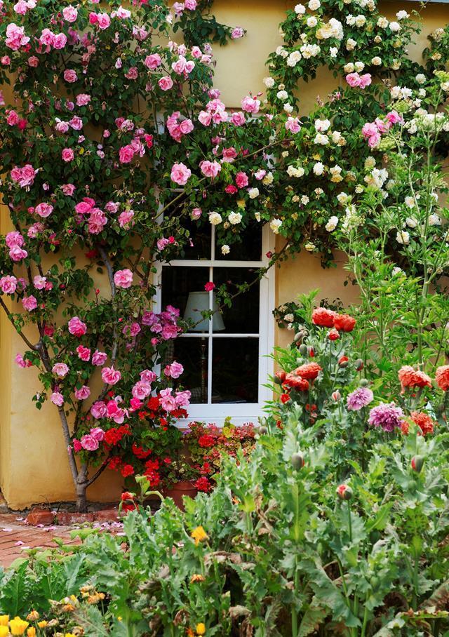 Roses, including vibrant pink 'Cicely Lascelles' and creamy apricot 'Desprez à Fleur Jaune', flourish along a sunny wall.