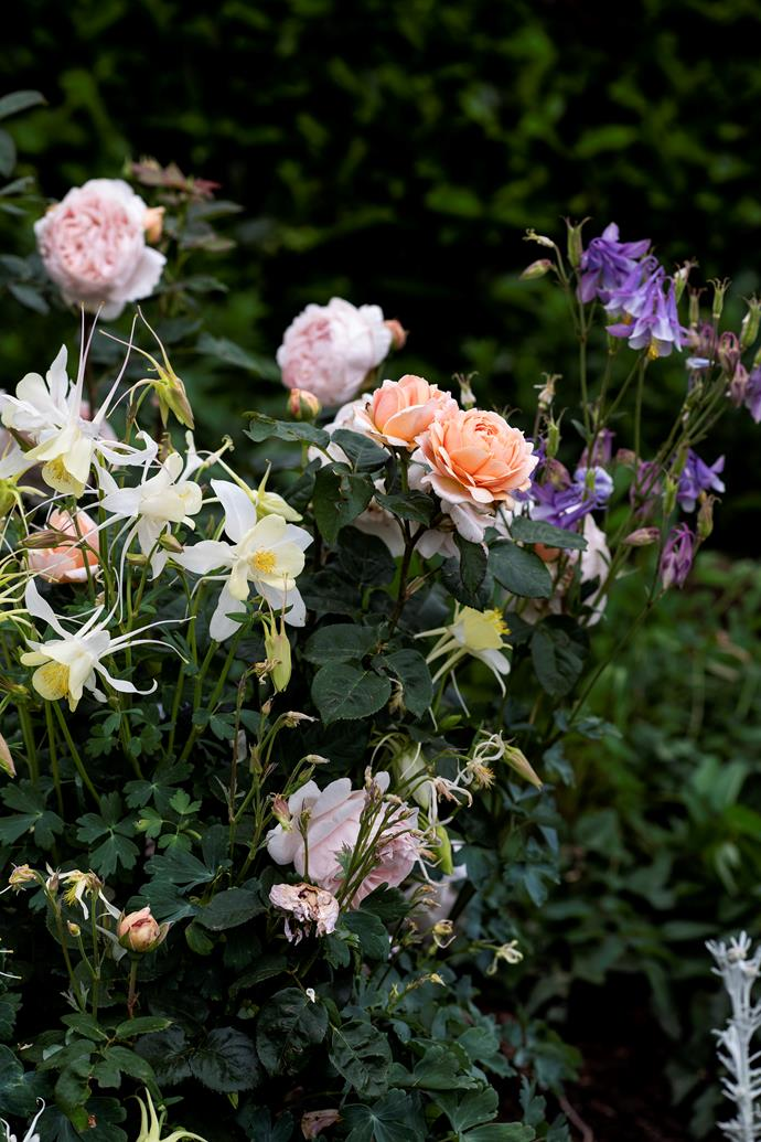 David Austin 'Abraham Darby' rose among self-sown yellow and purple Aquilegia.