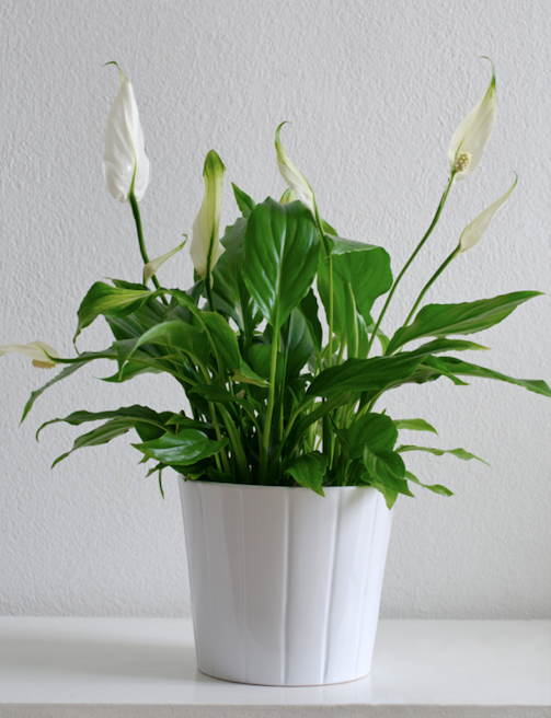 **Shade lover:** Peace lily (*Spathiphyllum*)  A very popular indoor plant, this glossy-leafed beauty thrives in a warm, bright spot out of direct sun. The white blooms are very long-lasting.