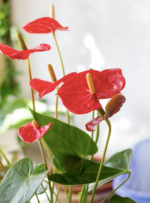 **Shade lover:** Flamingo flower (*Anthurium*)  Like peace lilies, these prefer bright light without direct sun in a warm climate. The flowers last for months: use them as a table centrepiece or for splashes of colour.