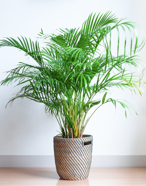 **Shade lover:** Golden cane palm (*Dypsis lutescens*)  If you need a tall (to 10m), dense, screen, this clumping palm is a great choice. It's lush and undemanding, although drying winds and hot sun can burn leaf tips.