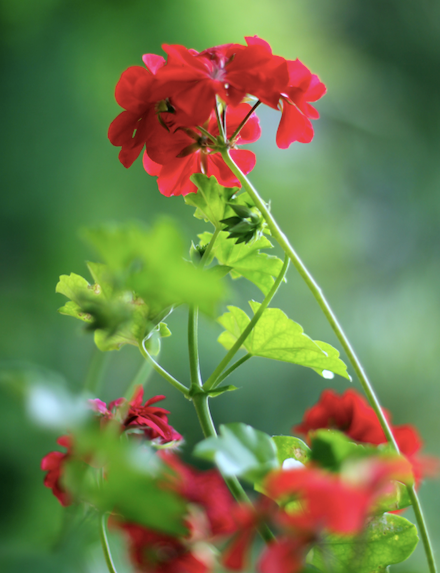 **Sun lover:** Geranium Big Red (*Pelargonium x hortorum Big Red*) The star performer among geraniums, with bold red flowers most of the year and terrific disease resistance.