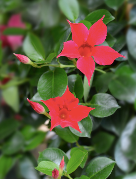 **Sun lover:** Chilean Jasmine (*Mandevilla*)  Grow this long-flowering beauty as a climber or nip the tendrils for a soft, bushy effect. There are pink, white and crimson varieties, all with glossy leaves.