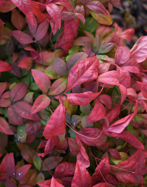 **Sun lover:** Dwarf sacred bamboo (*Nandina* Gulf Stream, Flirt and Obsession)  Great texture and colour combine with toughness in this foliage plant. The colour intensifies in cool weather.