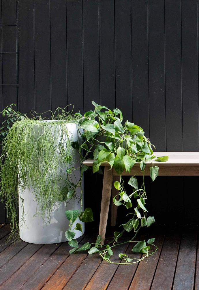 "Mistletoe cactus and devil's ivy in pots from [The Balcony Garden](https://thebalconygarden.com.au/ target=""_blank"" rel=""nofollow"") by an oak bench."
