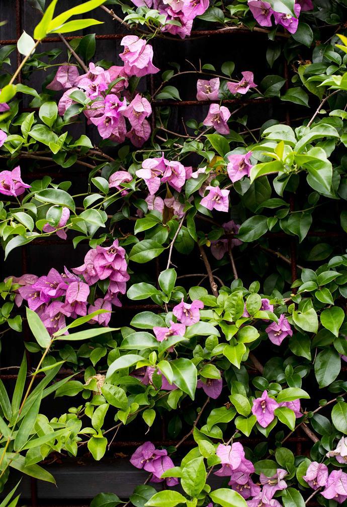 Bougainvillea brings the tropical colour.