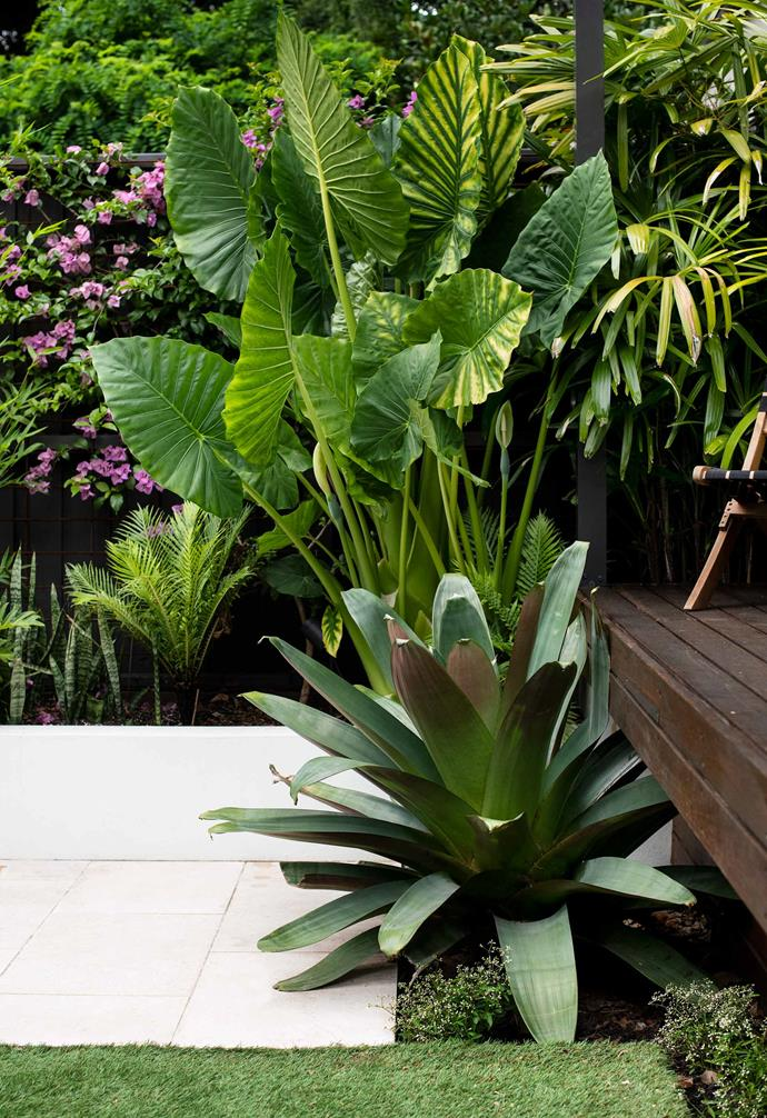 Alcantarea imperialis 'Silver Plumb' provides a rich tonal contrast with the limestone paving.