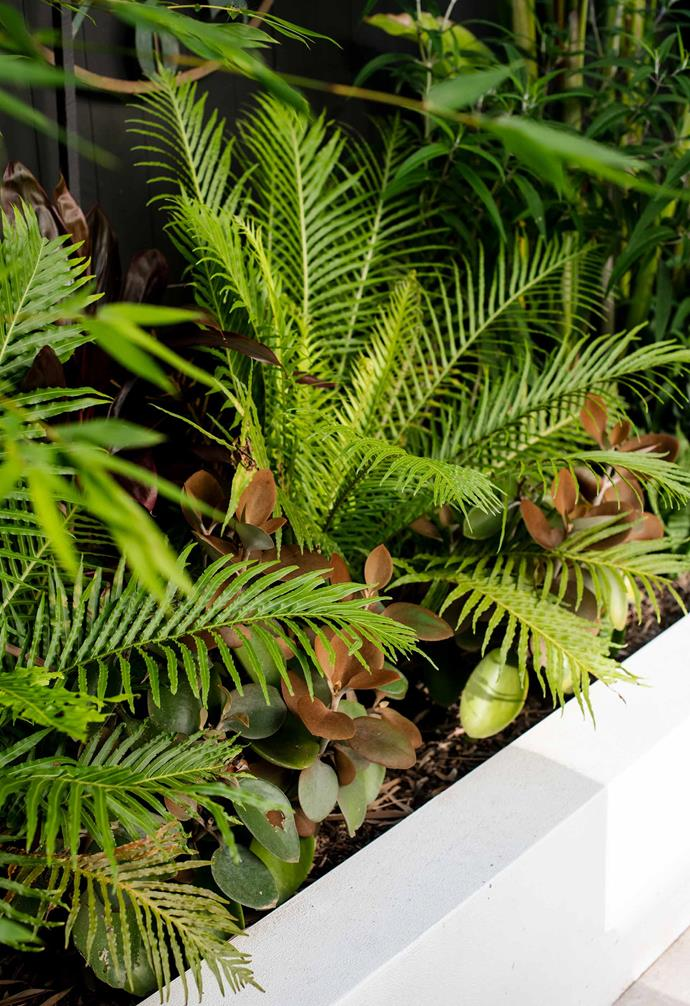 Blechnum gibbum 'Silver Lady' ferns are underplanted with Kalanchoe orgyalis (copper spoons).