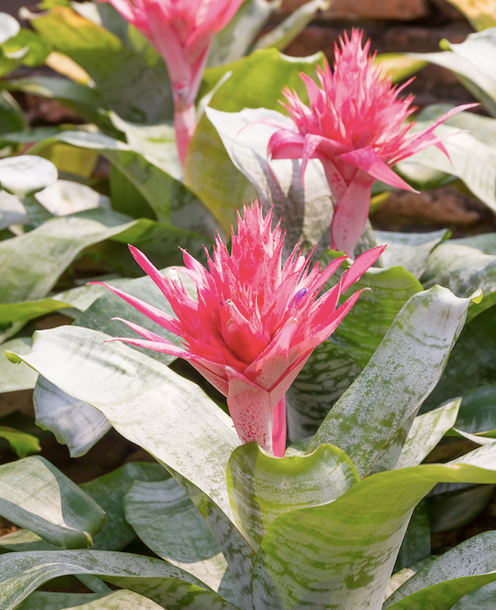 Mostly bromeliad flowers are produced from the centre of the rosettes.