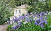 Agapanthus: How to grow and care for this popular plant