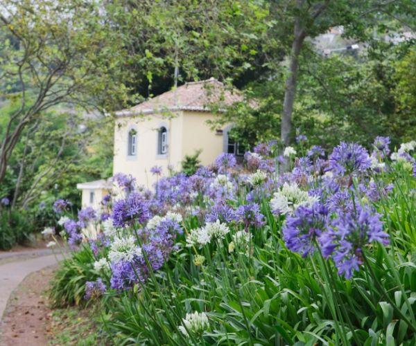 Agapanthus How To Grow And Care For Australian House And Garden