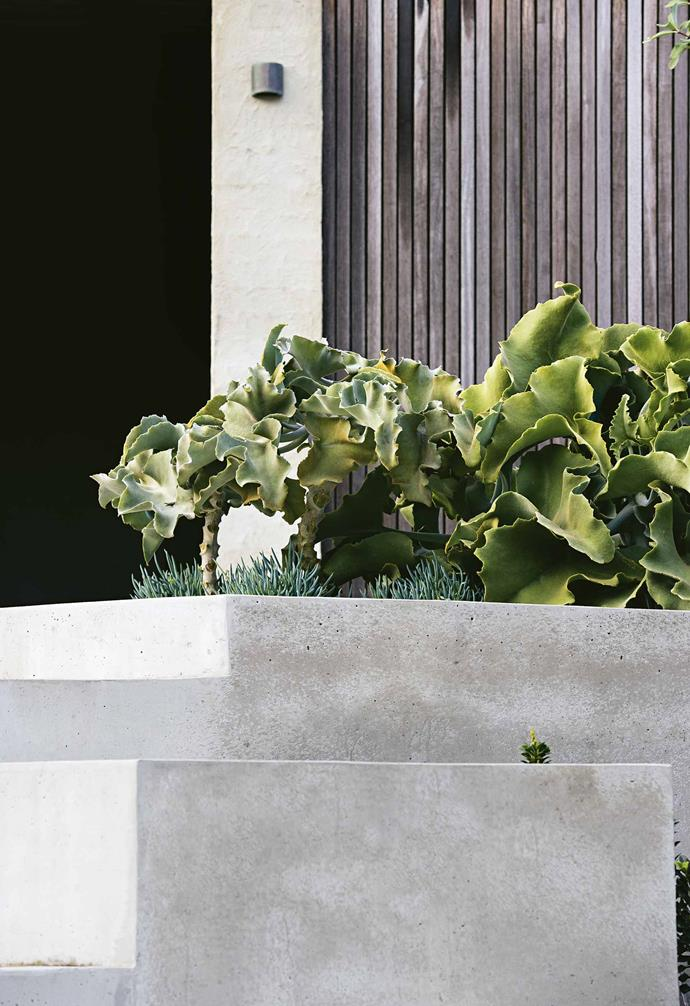 "**THE BOLD AND THE BEAUTIFUL** Textural foliage serves as a counterbalance to the modern concrete steps. The velvet elephant's ear plant – a type of kalanchoe – has large and sculptural felted leaves that stand up to the concrete forms, as well as the hot windy conditions. The succulent leaves retain moisture so it [can survive with little water](https://www.homestolove.com.au/water-saving-garden-tips-10383|target=""_blank""), and it holds its shapely contours all year."