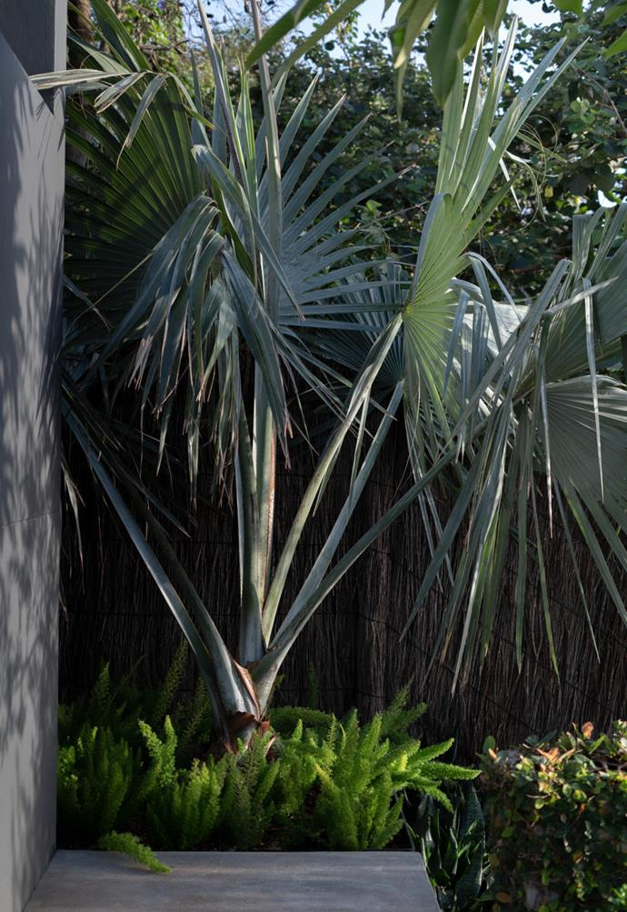 A native fan palm retained from the original garden, now underplanted with asparagus ferns, stands sentry at the top of the steps.
