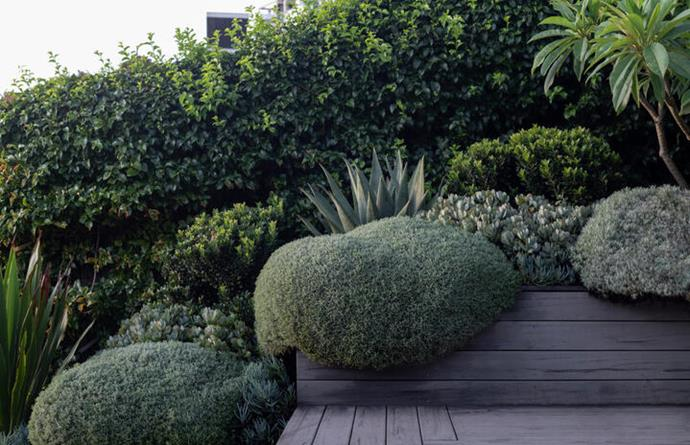 The tight silver groundcover spilling over the deck is cotton lavender, with a bluebird jade plant and red aloe behind it.