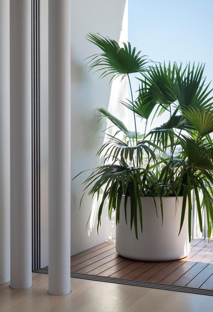 Fan-leafed palm (Livistona chinensis). Pot, Hibernate Outdoors.