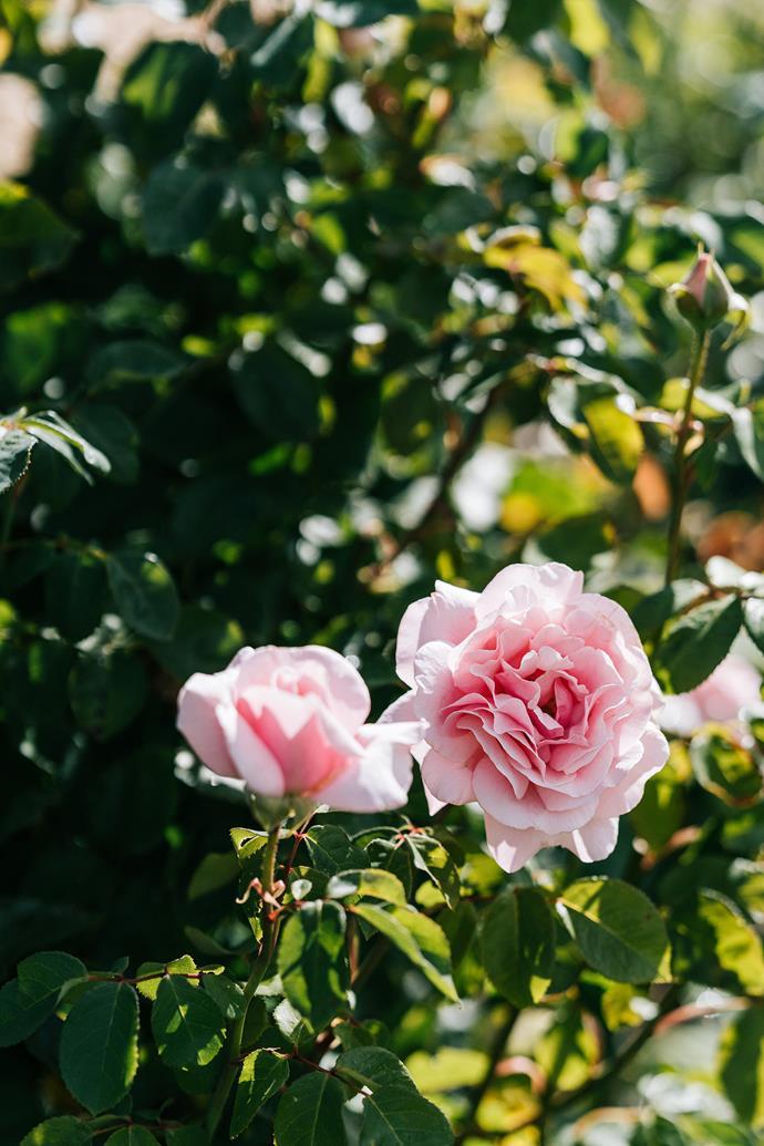 A garden rose.