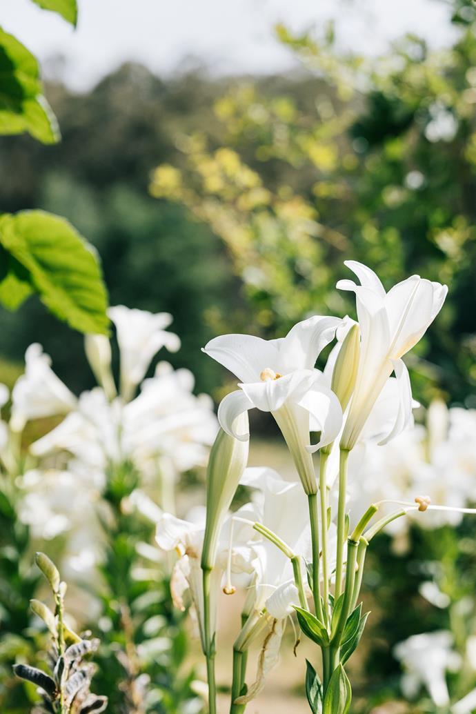 Christmas lilies (Lilium longi orum) in bloom.