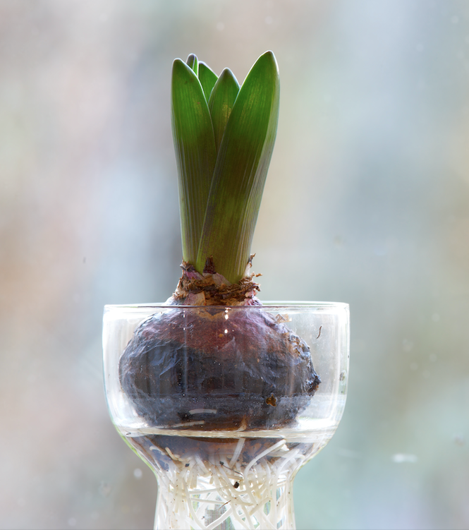 Bulb jars are specially designed  so that the bulb isn't fully submerged and the roots have room to grow and access the water.