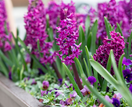 How to grow hyacinths in a jar