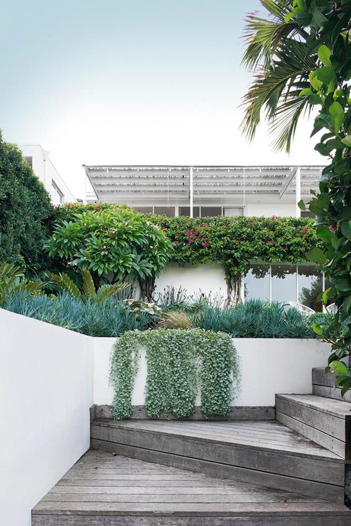 "This [Sydney garden](https://www.homestolove.com.au/coastal-front-garden-design-19502|target=""_blank"") has been elevated in more ways than one, with a mix of circular lawn, modern coastal planting and a wonderful palette of silver and green. Flowing over the wall is Dichondra 'Silver Falls'. A cardboard palm (Zamia furfuracea) can be seen on the left."
