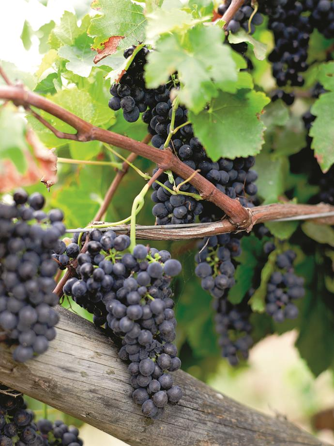 Sun-ripened wine grapes ready for harvest.