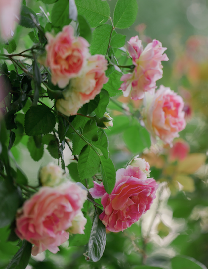 Hardy and resistant to diseases, the Brindabella pastel tiger has a true rose scent.