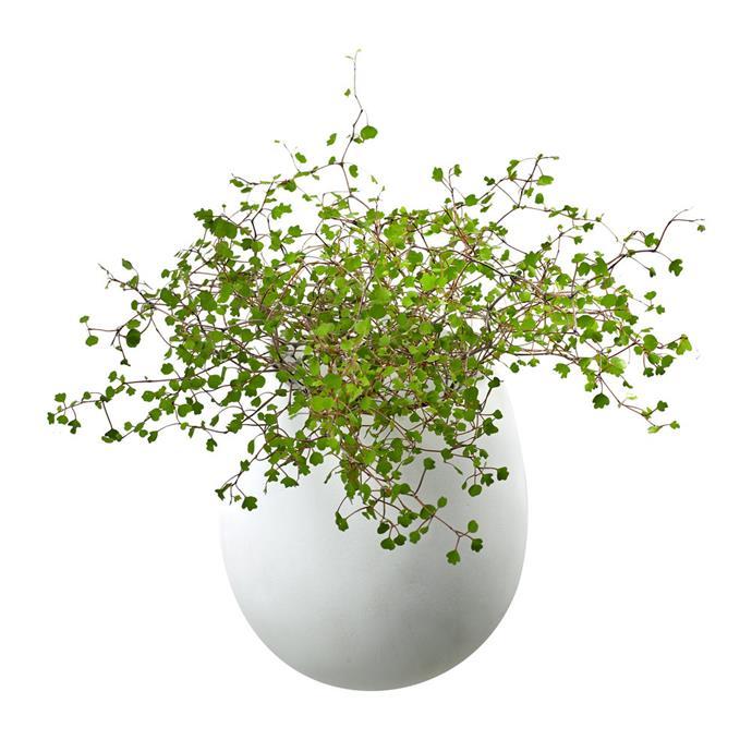 "SERAX Doreen Wall Planter - White, $57, [Amara](https://www.amara.com/au/products/doreen-wall-planter-white?utm_source=google&utm_medium=cpc&amss=cfx&pdg=kwd-622580180816:cmp-1052340400:adg-54948023689:crv-252697570312:pos-:pid-123542&gclid=CjwKCAjwq832BRA5EiwACvCWsaq3iLKzY9I4_NM2bvGM_QvQiHNmAK-fiwzixLl8IBxyoIY_TaG7qBoCJM4QAvD_BwE target=""_blank"" rel=""nofollow"")"