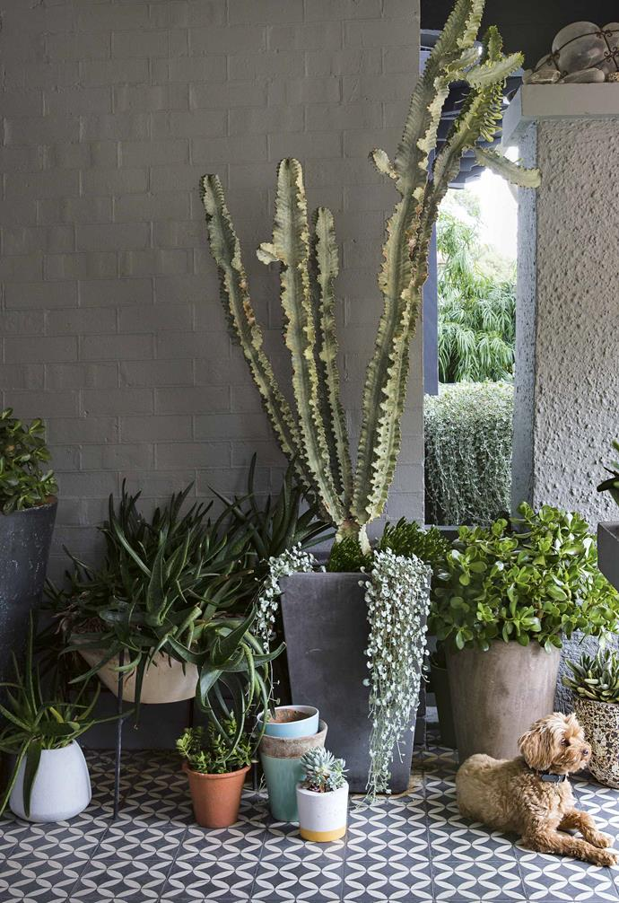 Landscape designer Peter Fudge uses succulents and textural elements to create his own low maintenance garden in Sydney. A mix of different sized and shaped planters are paired with a wide range of plants to create a lush an dynamic look.