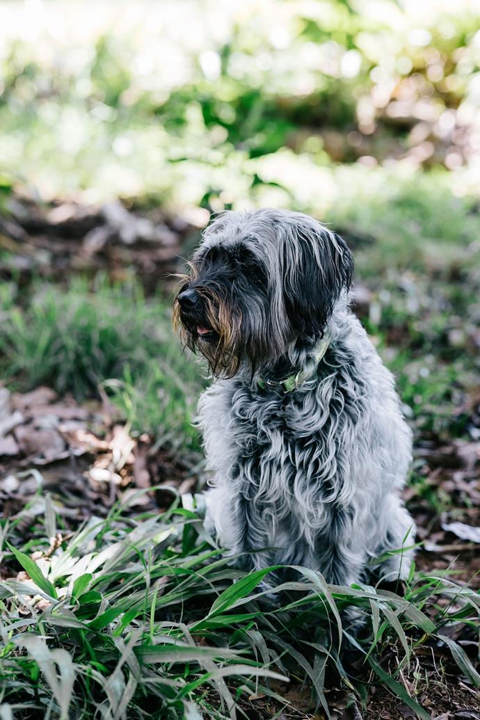 Maud, the family schnoodle.