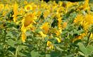 How to grow sunflowers from seed in the garden and in pots