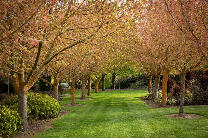 Shady groves of trees, such as these Acer negundo 'Sensation', an incredibly drought-tolerant maple cultivar, contribute to the garden's inviting atmosphere.