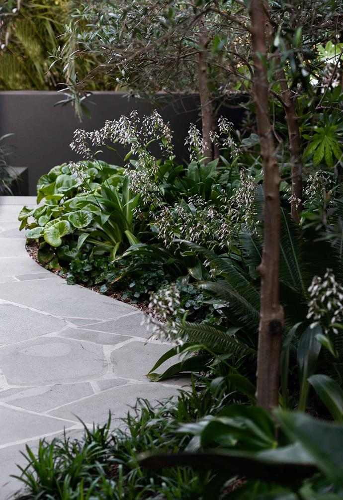 Creating a bluestone path though this garden was genius Matthew Cantwell from Secret Gardens designed this lovely green courtyard in Sydney's Coogee. It's a small space, so the sense of journey was a clever device to make it appear bigger. Lining the crazy-paved bluestone path is *Olea europaea*, *Dioon spinulosum*, *Viola odorata* and *Arthropodium cirratum*, plus many other featured plants that stand proud of the Dulux Domino-painted boundary walls.