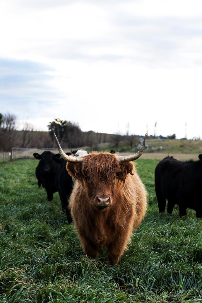 Julie, one of the their three beloved Scottish Highlanders, with Angus cattle.