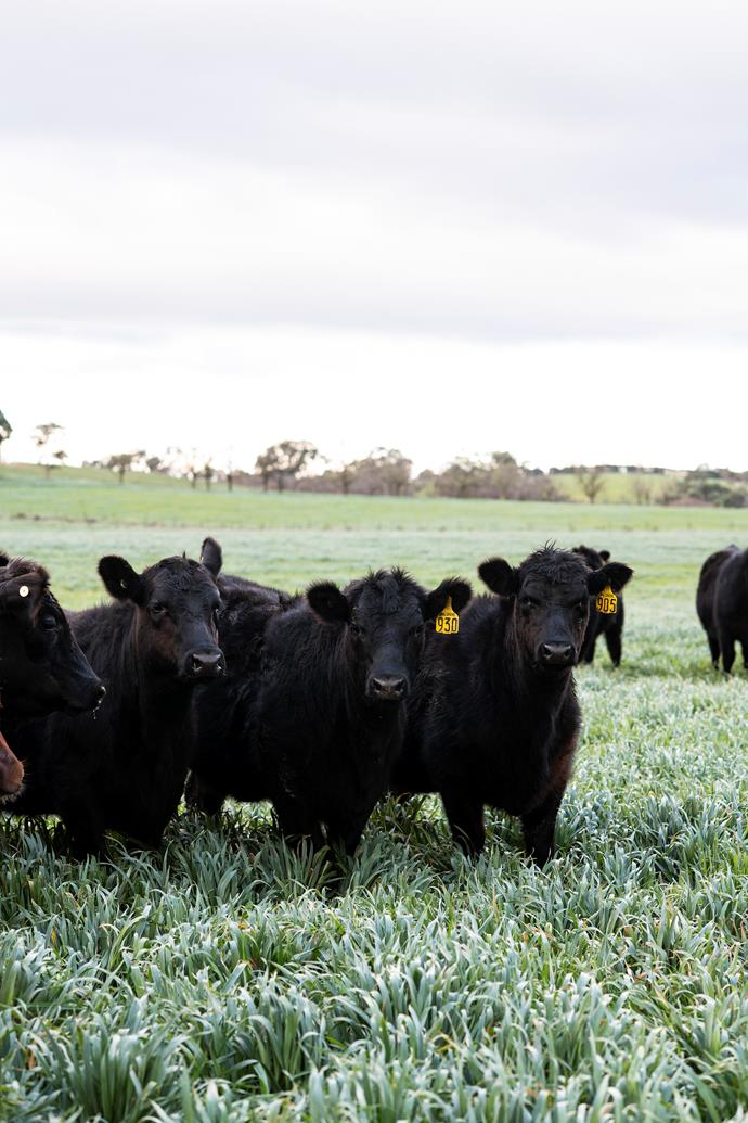 Angus cattle in the oats paddock.