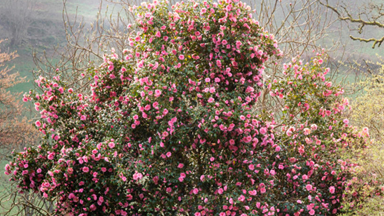 Camellias: How to care for this winter flower
