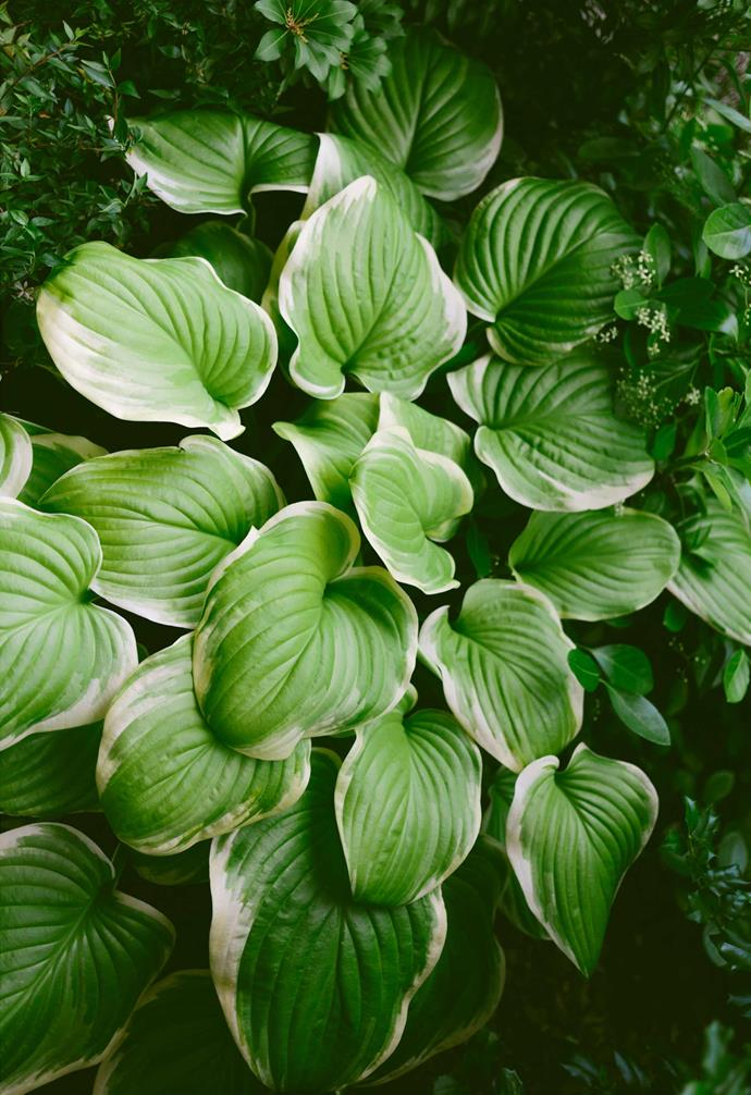 **HOSTAS** (*Hosta spp.*) need shade and a cool climate. They have striking green, patterned or variegated leaves and sprays of white and lavender flowers in summer. Plants die back in winter but regrow in spring.<br><br>