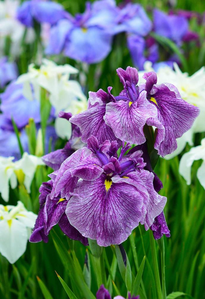 **JAPANESE IRIS** (*Iris japonica*) are favoured by vertical garden designers including the world-renowned Patrick Blanc. Their strappy green leaves cascade in a green waterfall. Grows in bright light to part shade. Sprays of small pale blue iris flowers appear in spring.<br><br>