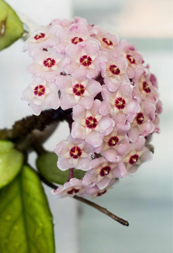 """**HOYA** (*Hoya carnosa*) is an Australian [trailing plant](https://www.homestolove.com.au/trailing-indoor-plants-12481