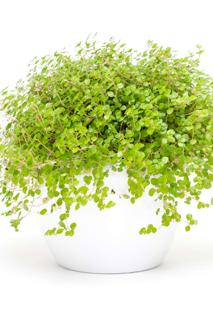 **BABY'S TEARS** or helxine (*Soleirolia soleirolii*) is a dainty, spreading mat-like plant with tiny, round, bright green leaves. It loves a moist spot with low light.<Br><br>